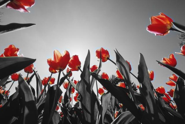Color Key: wandeln Sie Ihr Foto in ein Schwarz-weiss-Bild mit 1 Farbe